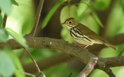 Of Ovenbirds & Diminished Things